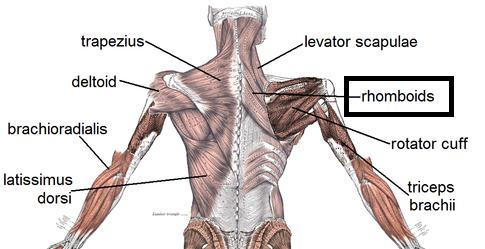 Flashcards - Back Muscles List & Flashcards | Study.com