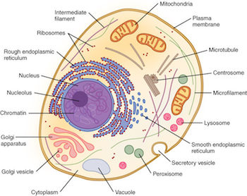 the difference between plant and animal cells video lesson animal cell and organelles
