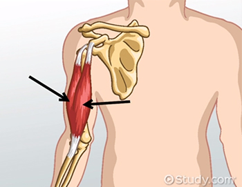 Biceps Brachii: Origin, Insertion & Function - Video & Lesson ...