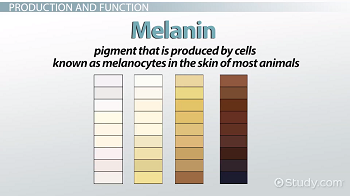 What Is Melanin Definition Production Function Video Lesson Transcript Study Com