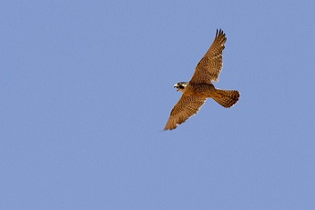 Falcon Facts: Lesson for Kids | Study com