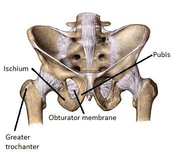Obturator Muscles: Internus & Externus | Study.com