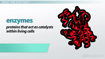What Are Enzymes Definition Explanation Video Lesson