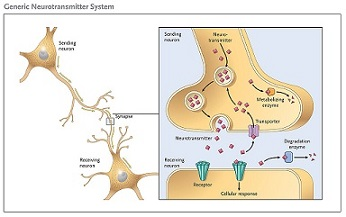 Cholinergic drugs mechanism of action study neurotransmitters moving along the synapse ccuart Gallery