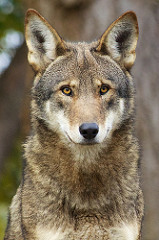 Yellow Eyes of a Red Wolf