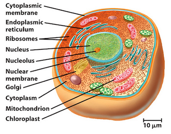 Do eukaryotic cells have a nucleus video lesson transcript eukaryotic cell sciox Images