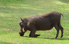Warthog looking for a snack