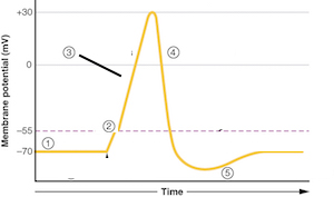 Quiz worksheet labeling action potential graphs study which of the following section of the graph is represents depolarization ccuart Choice Image