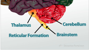Flashcards parts of the brain flashcards study brainstem thalamus reticular formation and cerebellum ccuart Images