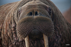 Walrus with Whiskers