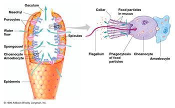 Porifera Circulatory System   Study.com