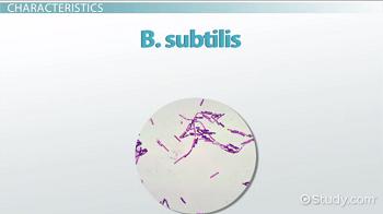 Bacillus subtilis characteristics arrangement video lesson characteristics of b subtilis ccuart Choice Image