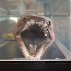 Frilled shark mouth