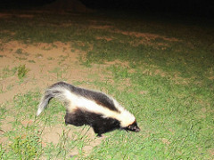 Skunk out and About at Night