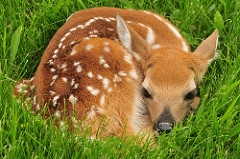 Fawn with White Dots Hiding in Grass