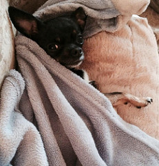 Chihuahua staying warm under a blanket