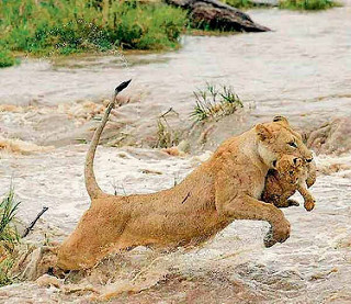 Asiatic Lion: Lesson for Kids | Study com