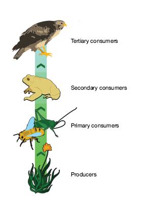 Capuchin Monkey: Habitat, Food Chain & Lifespan | Study com