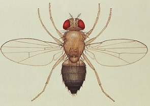 Fruit fly asexual reproduction video