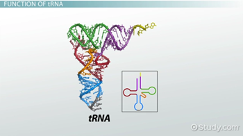 tRNA: Role, Function & Synthesis - Video & Lesson Transcript