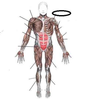 Flashcards - Skeletal Muscle Flashcards | Study.com