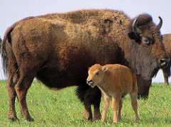 American Bison Mother with her Calf