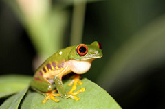 Red-Eyed Tree Frog that Changed Color