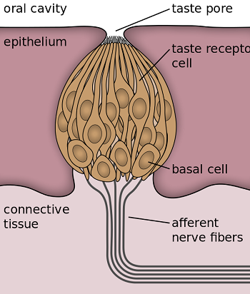 Impact of Taste Buds Nerves amp Smell on Taste Study com