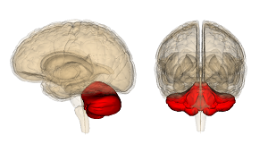 An image of the hindbrain.