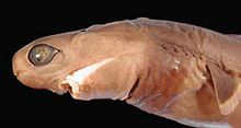 Cookie Cutter Shark Head