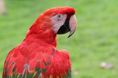 Scarlet Macaw Facts: Lesson for Kids | Study com