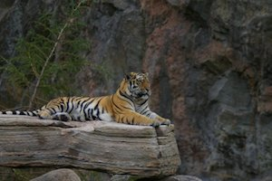 """how to study like a tiger We all remember the dominant tiger, the one that statisticians chronicled in a 2008 berkeley study of what they called """"the tiger woods effect"""" according to the numbers, in his early career."""