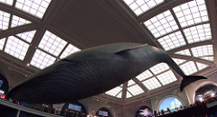 Model of Blue Whale