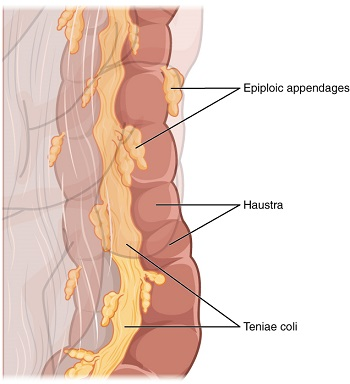 Epiploic Appendix: Definition & Functions | Study.com