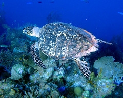 Hawksbill sea turtle in a coral reef