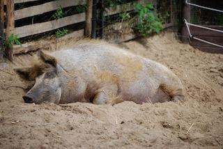 Pig Habitat Lesson for Kids   Study com