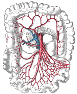 Arteries of the intestines