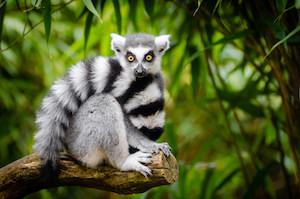 ring tailed lemurs facts behavior locomotion study com