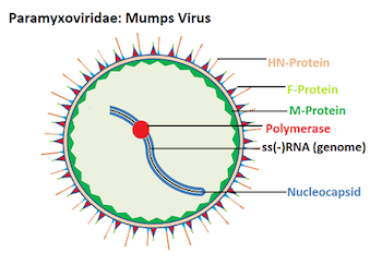 Mumps virus structure and function video lesson transcript f protein depicted as red triangles in this figure allows the viral nucleocapsid to break into susceptible areas by fusing with the cell membrane ccuart Choice Image