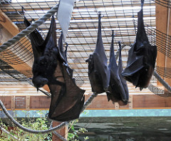 Fruit Bats Hanging Upside Down Wrapped in their Wings