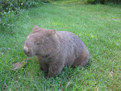Wombat in Grass
