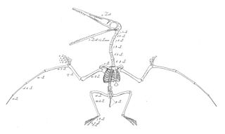 Pterosaur skeletal illustration