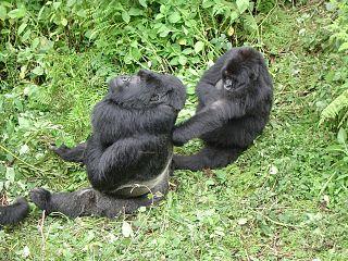 gorillas in the mist chapter summaries