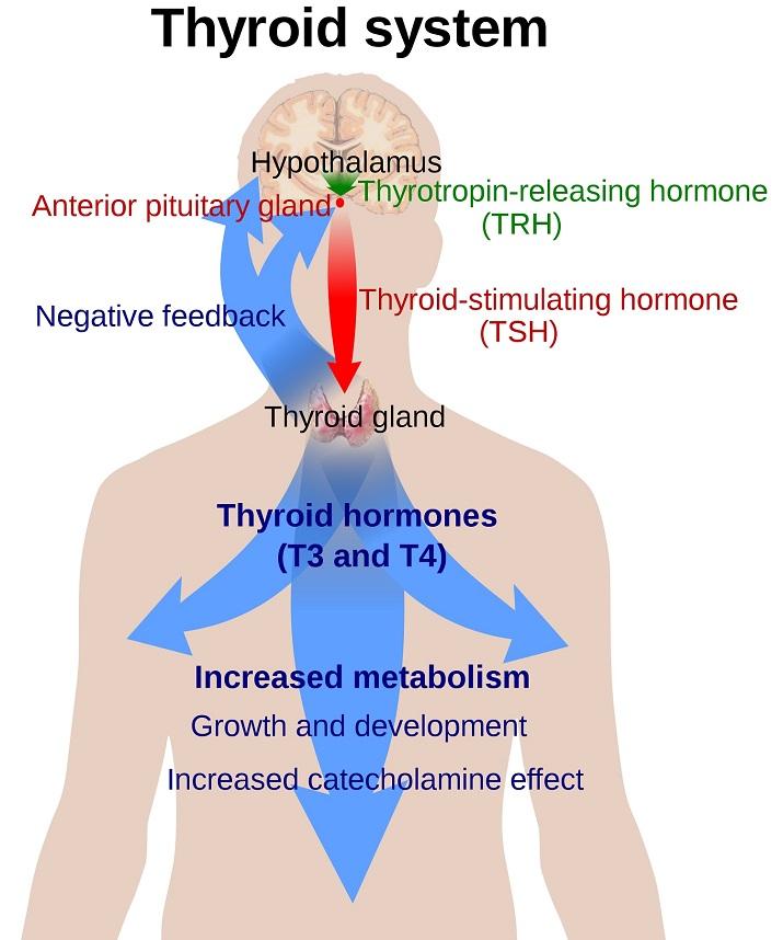 Levothyroxine: Classification, Uses & Dosage | Study.com