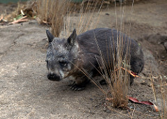 Wombat With Feet that are Made for Digging