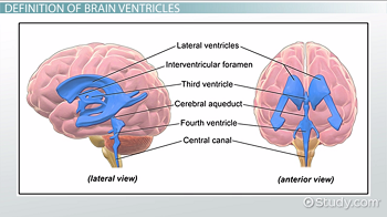 Brain ventricles definition function video lesson transcript the ventricular system ccuart Choice Image