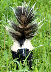 Skunk with its Tail Lifted