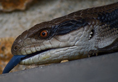 Blue-Tongued Lizard Facts: Lesson for Kids | Study com