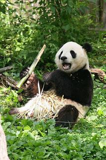 Giant Panda Adaptations: Lesson for Kids | Study.com