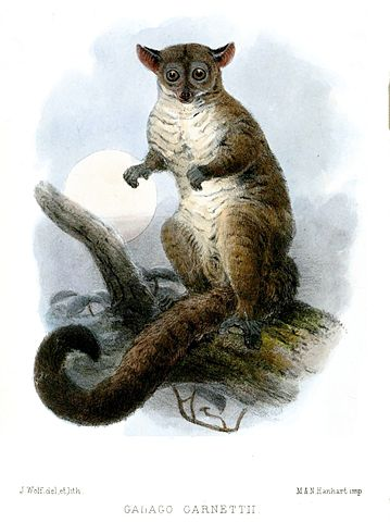 The galago primate is also known as a bush baby.